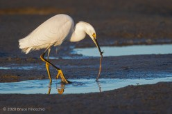 Snowy Egret Pulls Out A Worm From The Mudflats_CA06190D7II