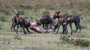 A Pack Of Wild Dogs Literally Pull Apart A Baby Blue Wildebeest