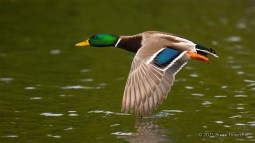 A Flying Male Mallard Duck With Wing Tip Touching The Water