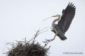 A Landing Male Great Blue Heron Brings Stick To Nest