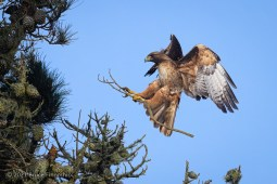 A Landing Red-tailed Hawk With A Stick In Talons For Nest Building