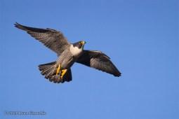 A Peregrine Falcon In Full Flight As It Soars Upwards Into The Sky