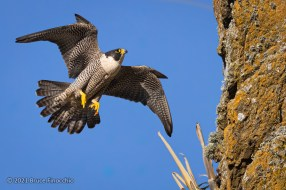 Male Peregrine Falcon Soars Past Cliff Edge On His Way Carvern In The Cliff Face