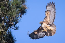 Red-tailed Hawk With Stick In Its Beak Spreads Wings Out To Land In A Pine Tree Nest