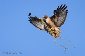 With Lichen Covered Branch In Its Talons, A Red-tailed Hawk Prepares To Land In Its Nest Tree