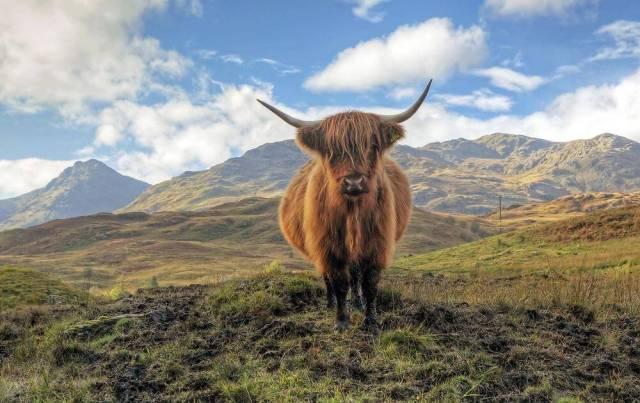 Loch Lomond Highland Cow