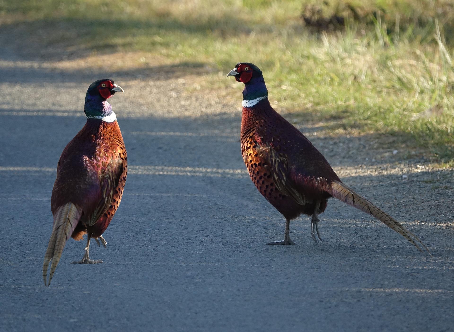 The Pheasants!