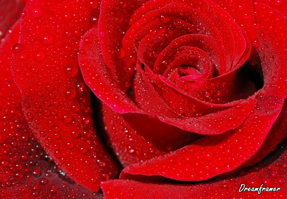 Red Rose - ©Dreamframer