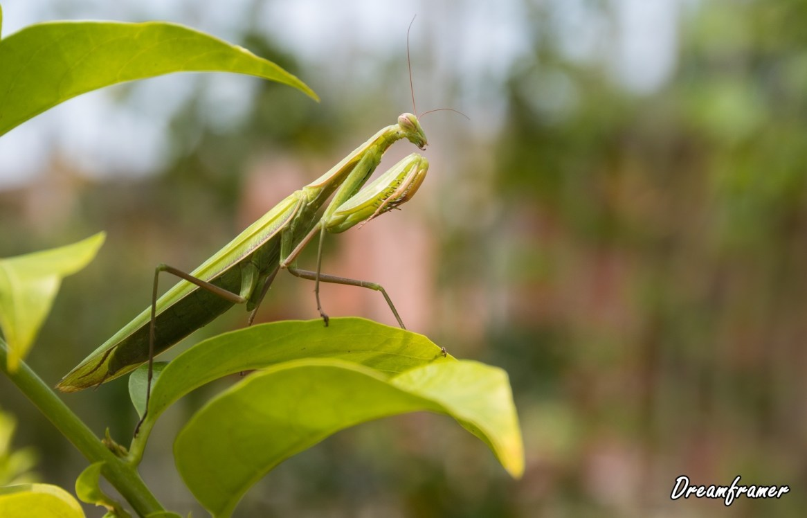 Praying Mantis - ©Dreamframer