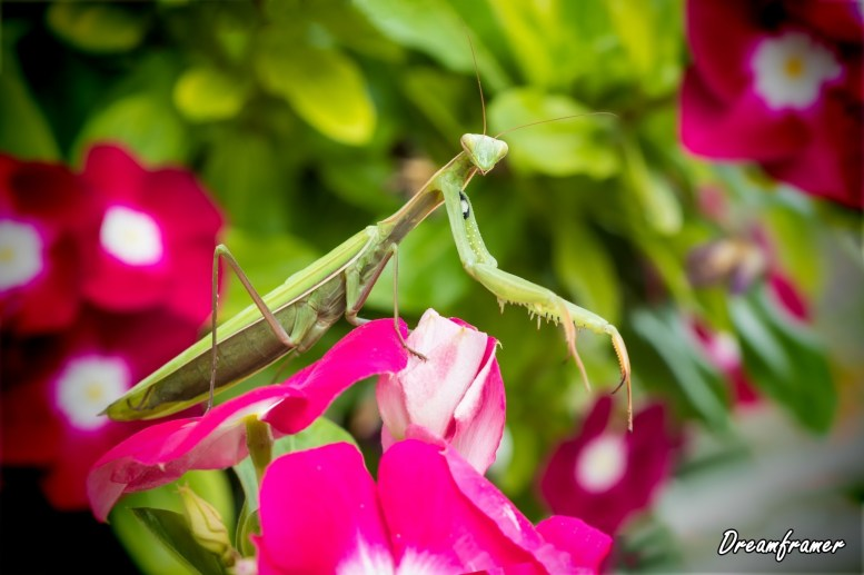 Praying Mantis on Vinca Flower - ©Dreamframer
