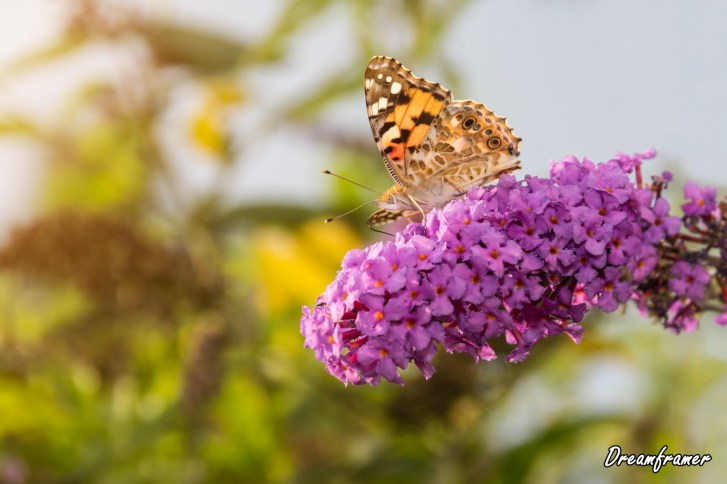 Painted Lady Butterfly - ©Dreamframer