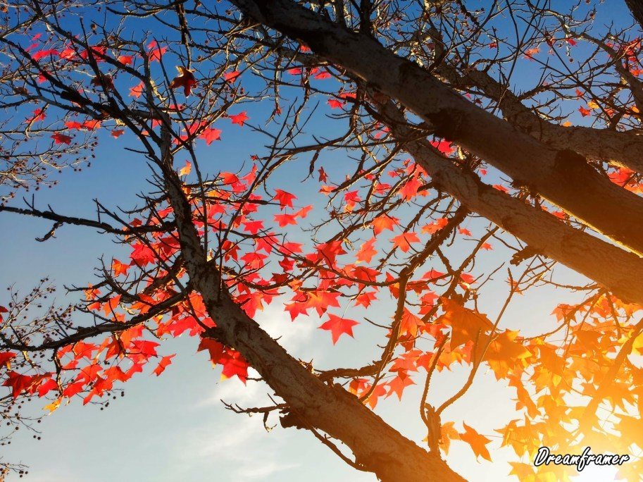 Maple Leaves in Fall - ©Dreamframer