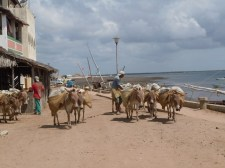 Donkeys working - Lamu Waterfront