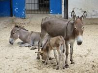 Donkey 6
