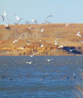 ducks and gulls