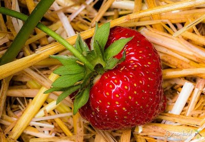How to Reproduce New Strawberry Plants