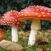 Amanita muscaria - The Sleep Mushroom