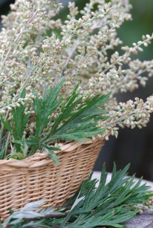 Artemisia vulgaris (Mugwort)