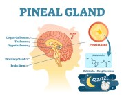 Pineal Gland Health/Decalcification - Popular Supplements