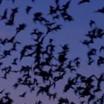 Dream about bats