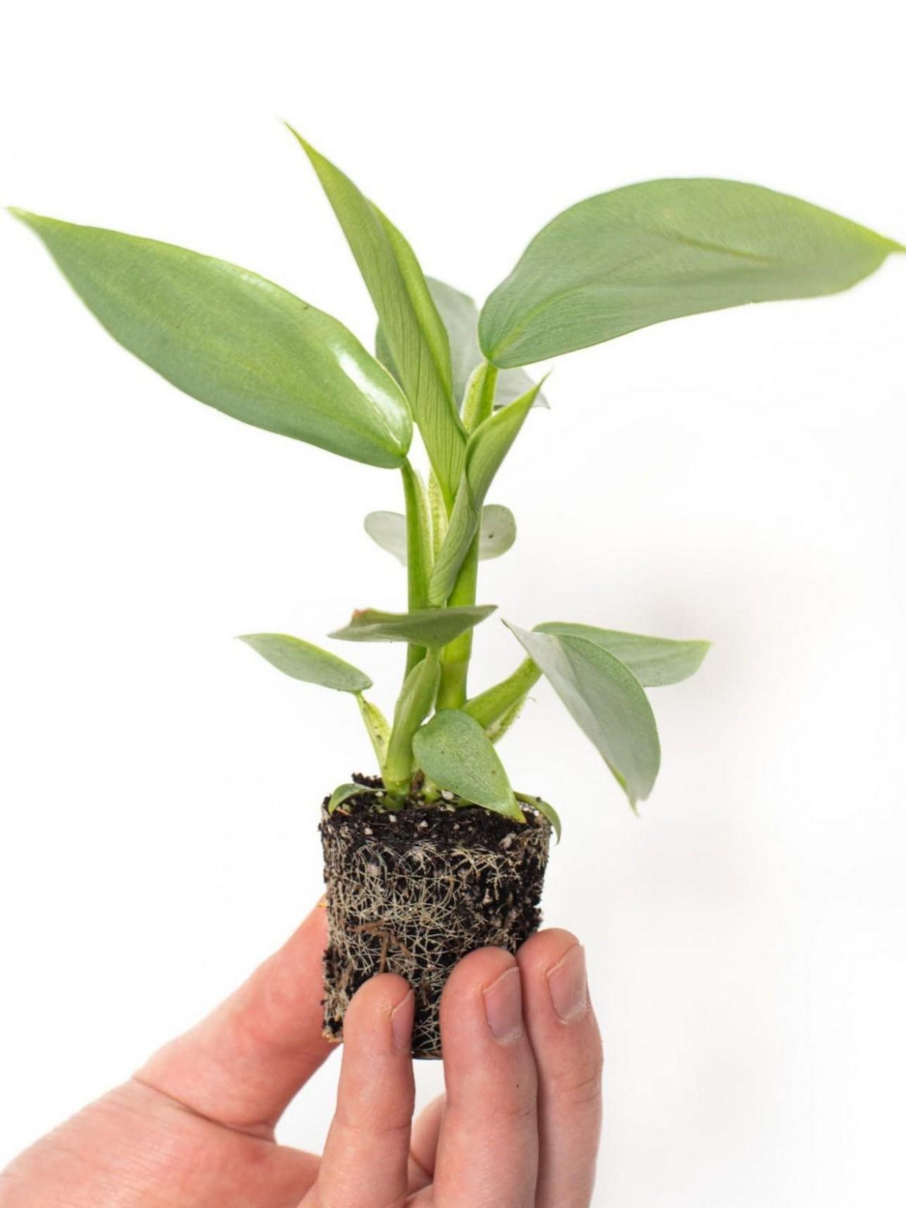 48 Popular Indoor Plants For Tropics Zone 31