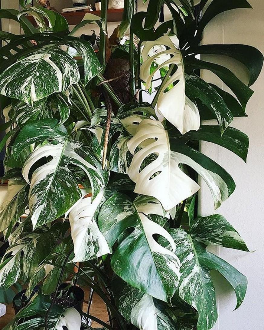 48 Popular Indoor Plants For Tropics Zone 8