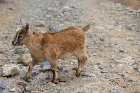 Sapa Baby Goat