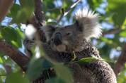 Dry Koala