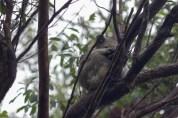 Wet Koala
