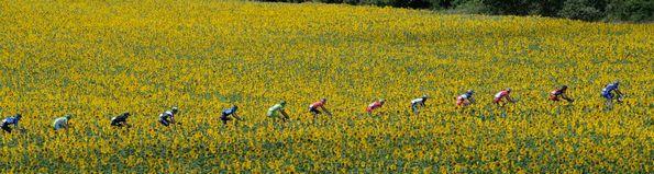TDF Sunflowers line crop