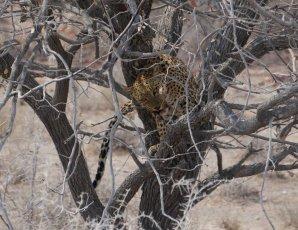 Jaguar beim Resteessen