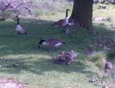 Several families of Canada Geese at the lower Lake of Hardwick Hall