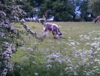 Hawthorn in full flower with cows parsley.