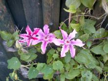 Clematis in flower
