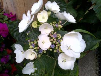 White Hydrangea with tiny blue flowers