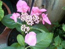 Another Pink Hydrangea I just love how from two plants these cuttings have varied.