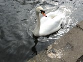 Swan upon the river in Bakewell Derbyshire
