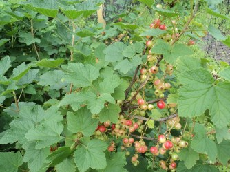 More Redcurrents to ripen