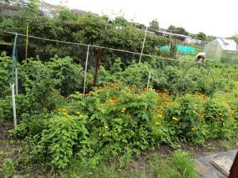Marigolds, looking at the Raspberries and Loganberries behind them.