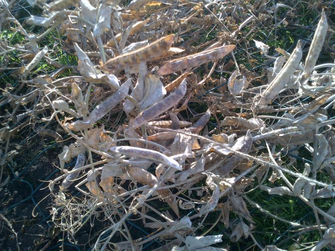 Dried Pea Pods for seeds