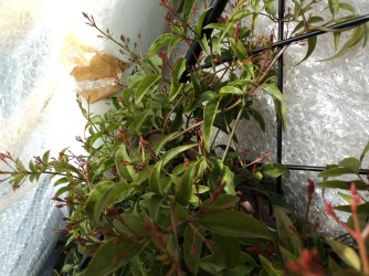 This is what the Jasmine looks like inside.. Healthy and lots of fresh buds sprouting