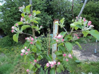 I am extremely pleased, that this year we have lots of blossom on our apple trees.. One is a cooker the other an eater ..