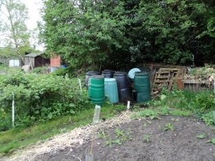 This collection of bins contain rotting compost material, other bins contain left over manure. to the left you can see our giant blackberries.. These are the bought cultivated variety. If memory serves I think these were called 'Apache'.. :-) These we were given by another allotment grower a a couple of years ago.. They only really got going last year .