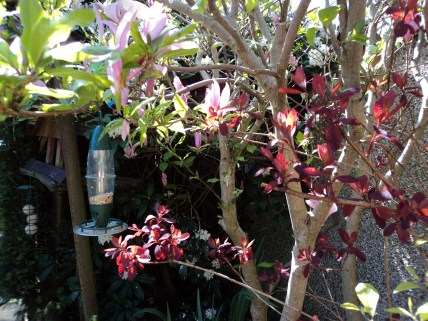 Magnolia and bird feeders and bird table