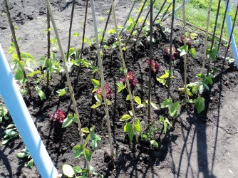 Kidney Beans with Lettuce