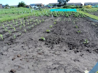 Here you see the Butternut Squash planted out next to the sweetcorn.