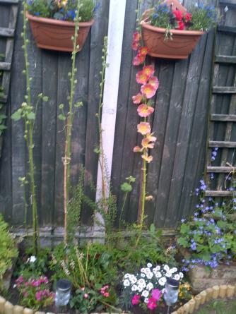 Hollyhocks coming into flower