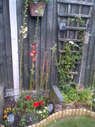 Clematis and Hollyhocks