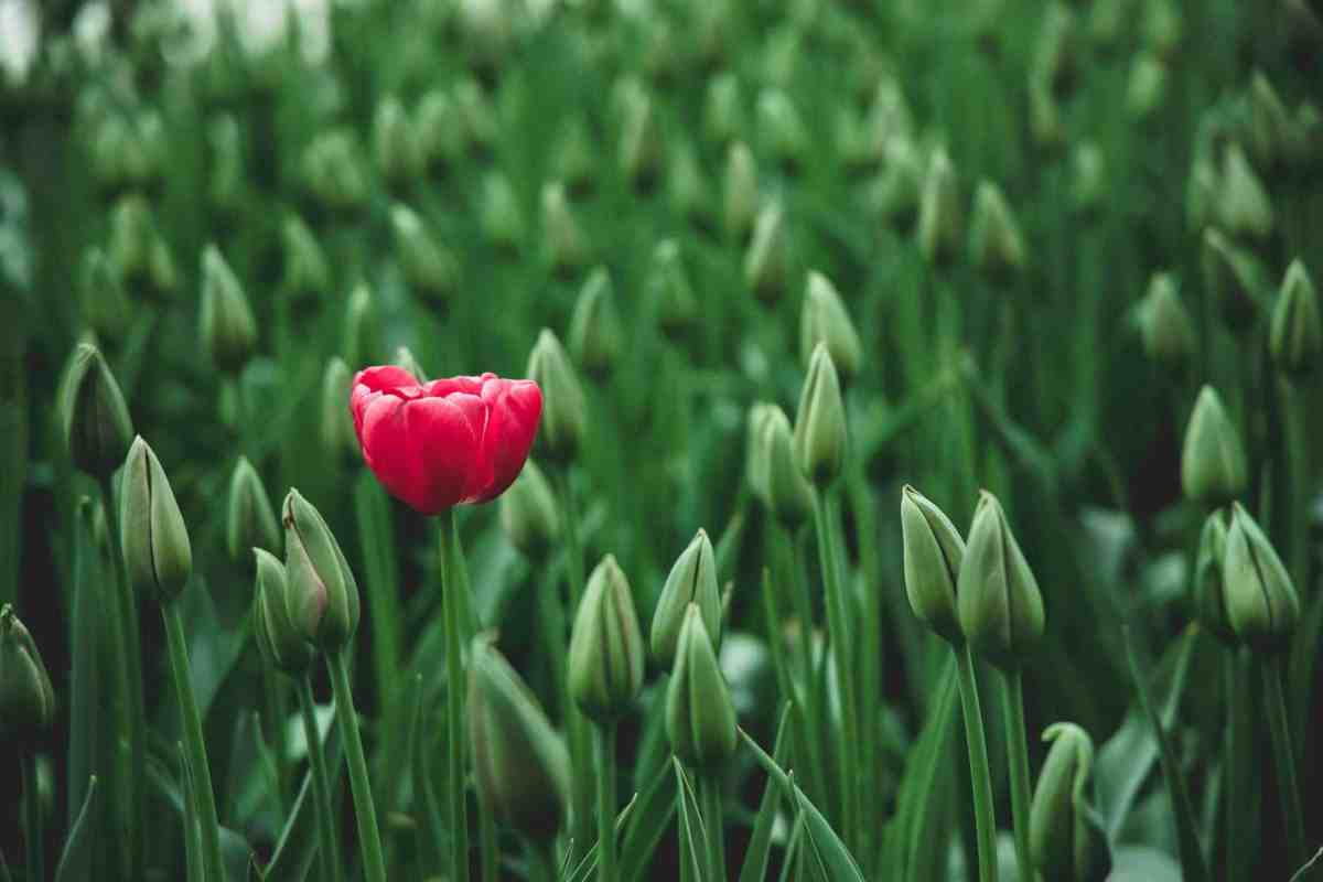 selective focus photo of a red tulip flower - hold yourself accountable