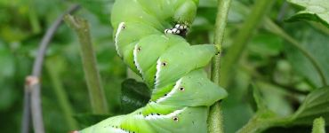 11 Natural Ways to Get Rid of Caterpillars on Plants